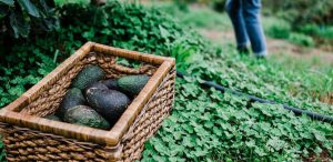 Building healthy soil and establishing avocados 3
