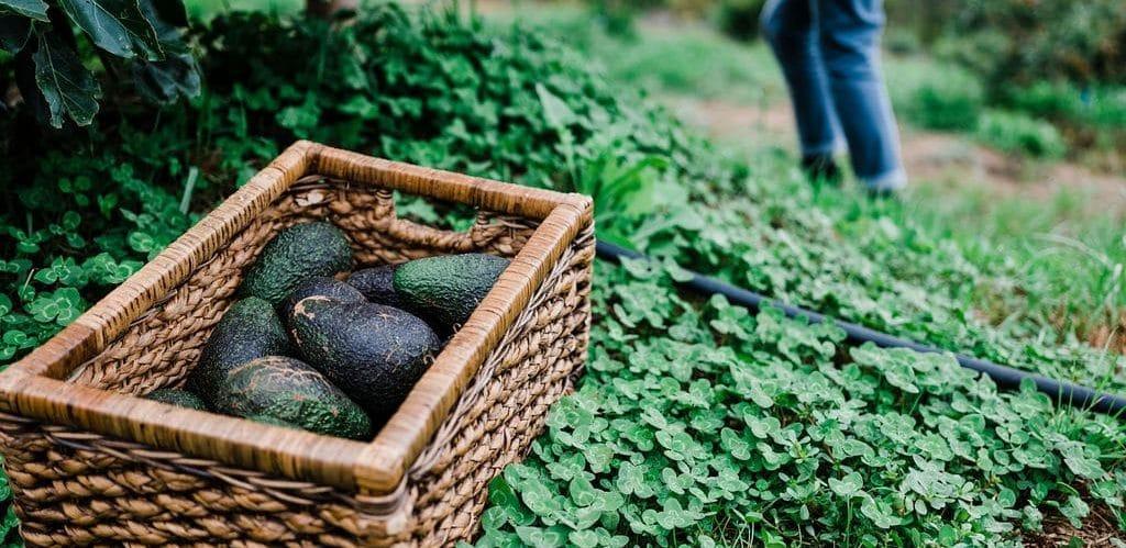 Building healthy soil and establishing avocados 1