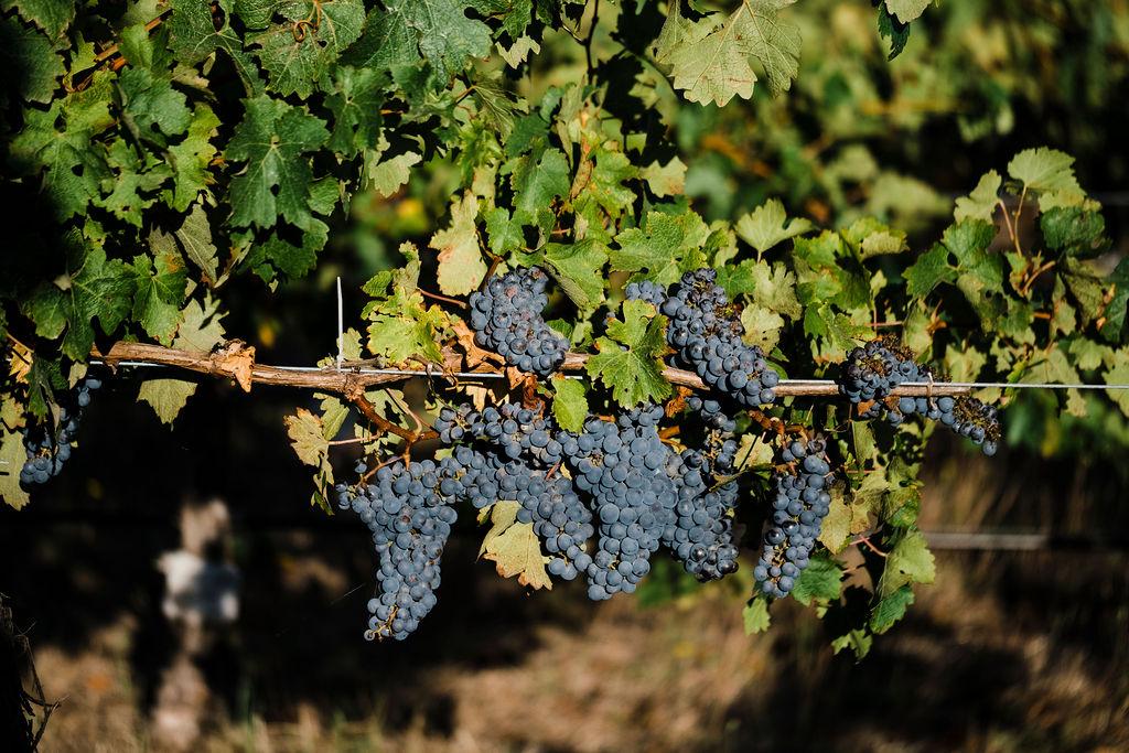 Q&A with natural winemaker Sam Vinciullo 1